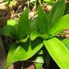 CALLISIA FRAGRANS FAMILY DOCTOR PLANT золотой ус