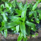 CALLISIA FRAGRANS Basket plant -  золотой ус