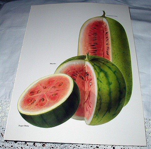 Vintage Botanical Lithograph-Watermelons Sliced-Sugar Baby,Miyako