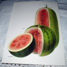 Vintage Botanical Lithograph-Watermelons Sliced-Sugar Baby,Miyako