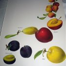 Vintage Print-Botanical Grouping of VIBRANT Colorful PLUMS