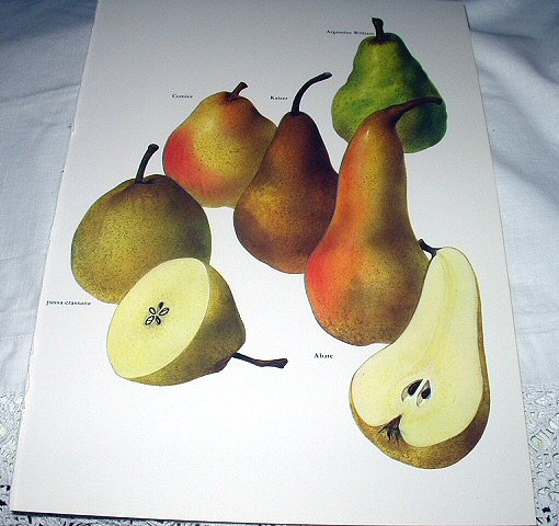 Vintage Print-Botanical Grouping of VIBRANT Colorful PEARS