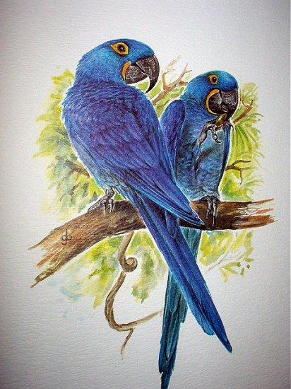 Beautiful BLUE HYACINTH MACAWS Newer Lithograph Print