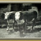 PRIME BEEF-Antique Calendar Lithograph Print-Two Large HEREFORD COWS