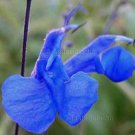 Salvia sagittata 10 seeds BLUE ARROW LEAF SAGE GORGEOUS SALE
