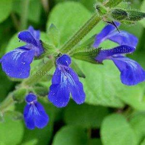 Salvia urica RARE Tall Upright Form 9 seeds BLUE BUSH SAGE