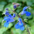Salvia petiolaris/scutellarioides 7 seeds BLUE COLUMBIA IVY SAGE HARD2FIND