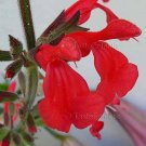 Salvia darcyi 10 seeds RARE FIERY RED MOUNTAIN SAGE Hardy Z7 SALE
