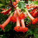 Iochroma fuchsioides 10 seeds VIVID FIERY RED BRUGMANSIA KIN HARD2FIND
