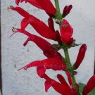 Salvia elegans 11 seeds RED PINEAPPLE SAGE HERB FRAGRANT