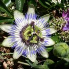 Passiflora caerulea 25 seeds HARDY BLUE CROWN PASSION FLOWER VINE SALE