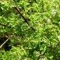Salvia namaensis 7 seeds DELICATE BLUE SAGE HARD2FIND