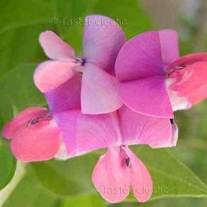 Dipogon lignosus 10 seeds CAPE SWEET PEA Dolichos HYACINTH BEAN VINE RARE Easy