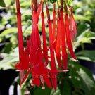 Fuchsia boliviana ALL SOLID RED 25 seeds BOLIVIAN FUCHSIA RARE SALE
