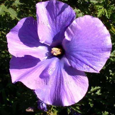 Alyogyne Huegelii Swan Riverwest Coast Gem 10 Seeds Blue