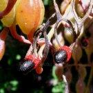 Bocconia arborea 10 seeds UNUSUAL TREE POPPY CHANDELIER PODS LADYBUG SALE