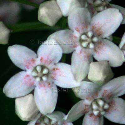 Dregea/Wattakaka sinensis 10 seeds HARDY HOYA Scented EASY Milkweed Vine RARE