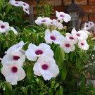 Pandorea jasminoides 'Rosea' 20 seeds PINK BOWER JASMINE VINE Easy