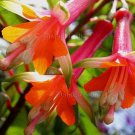 Fuchsia denticulata 25 seeds MULTI-COLOR GORGEOUS! RARE