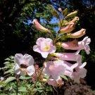 Incarvillea arguta 20 seeds V RARE Pale Pink HIMALAYAN GLOXINIA SALE