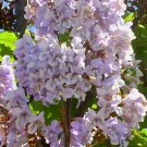Paulownia tomentosa 35 seeds SAPPHIRE DRAGON Foxglove PRINCESS Empress Fast Z6 TREE SALE
