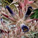 Puya coerulea var violacea 20 seeds PINK STALK BLUE BROMELAID V RARE