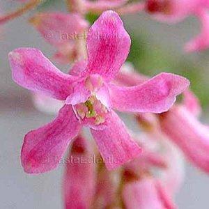 Ribes sanguineum PINK 20 seeds WINTER FLOWERING CURRANT Hard2Find