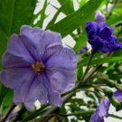 Solanum aviculare 20 seeds NEW ZEALAND POROPORO Kangaroo Apple NICE FOLIAGE Fast grower HARD2FIND