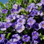 Solanum rantonnetii 10 seeds ROYAL BLUE POTATO BUSH Paraguay Nightshade HARD2FIND