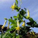 Vestia lycioides/foetida 15 seeds CHILE YELLOW FUCHSIA RARE Iochroma Brugmansia SALE