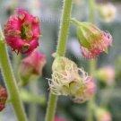 Tellima grandiflora 35+ seeds ODD FRAGRANT HEUCHERA Fringed Cups NATIVE EZ SHADE Z4