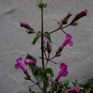 Lepechinia hastata 12 seeds BAJA PITCHER SAGE Pakaha FALSE SALVIA
