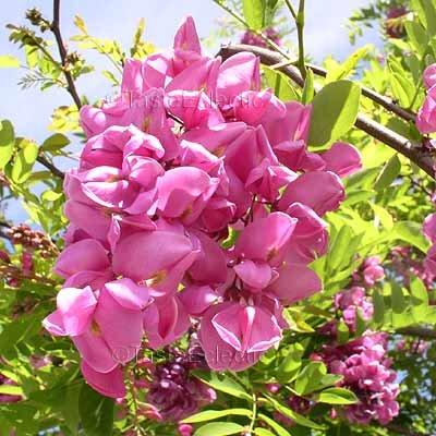 Robinia sp locust tree pink 5 seeds wisteria like v rare mightylinksfo