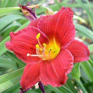 Hemerocallis DWARF RED STELLA 11 seeds Easy DAYLILY Day Lily FRESH