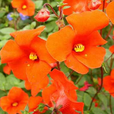 Alonsoa meridionalis RED SCARLET 40 seeds Mask Flower MOJO JOJO Cute HARD2FIND Easy SALE