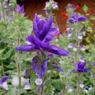 Salvia viridis horminum 25 seeds BLUE BRACTS Painted Sage HARD-TO-FIND SALE