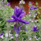 Salvia viridis horminum 25 seeds BLUE BRACTS Painted Sage HARD-TO-FIND SALE