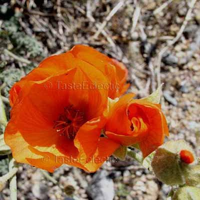 Sphaeralchea ambigua 35 seeds SHOWY Mini Orange EASY TOUGH DESERT Hollyhock SALE
