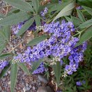 Vitex agnus-castus PURPLE 35 seeds CHASTE TREE Easy Hardy Z5 LONG BLOOMING SALE