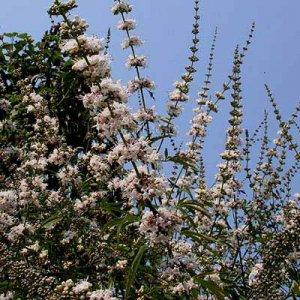 Vitex agnus-castus RARE WHITE 25 seeds CHASTE TREE Easy LONG BLOOMING Hardy Z5