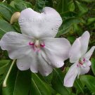 Impatiens sodenii subsp sodenii/var ugandense 'Flash' 10 seeds EASY SHADE PERENNIAL