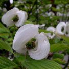 Cornus florida WHITE FOLD-UP BRACTS 4 seeds Flowering Dogwood Tree RARE?