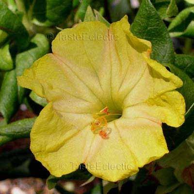 Mirabilis jalapa 'Yellow' 25 seeds FOUR O'CLOCK Tuber MARVEL OF PERU Easy
