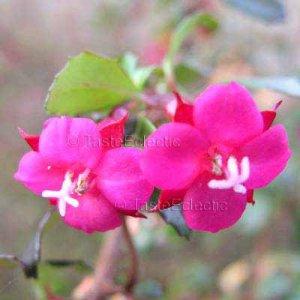Fuchsia thymifolia 10 seeds EASY PINK ENCLIANDRA BONSAI Thyme Leaf RARE