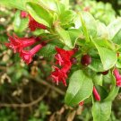 Fuchsia microphylla ssp microphylla 10 seeds MINI RED ENCLIANDRA RARE BONSAI SALE