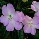 Impatiens sodenii subsp oliveri 10 seeds LILAC PINK Poor Man Rhododendron SHRUB BALSAM Fresh SALE