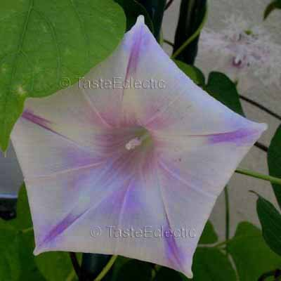 WHITE TERESA Morning Glory 5 SPOTS Vine ODD PENTAGON 20 seeds SALE