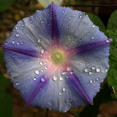 Sydney AZURE BLUE MORNING GLORY 15 Unusual BEIGE-COLORED seeds SALE