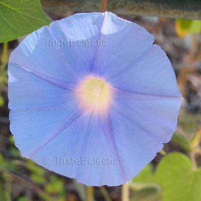 EARLY CALL Sky BLUE Vigorous EASY Japanese Morning Glory Vine 20 seeds SALE