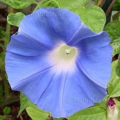 TEN NO HARA Sky In Field Blue Japanese Morning Glory 10 seeds RARE Vigorous Vine